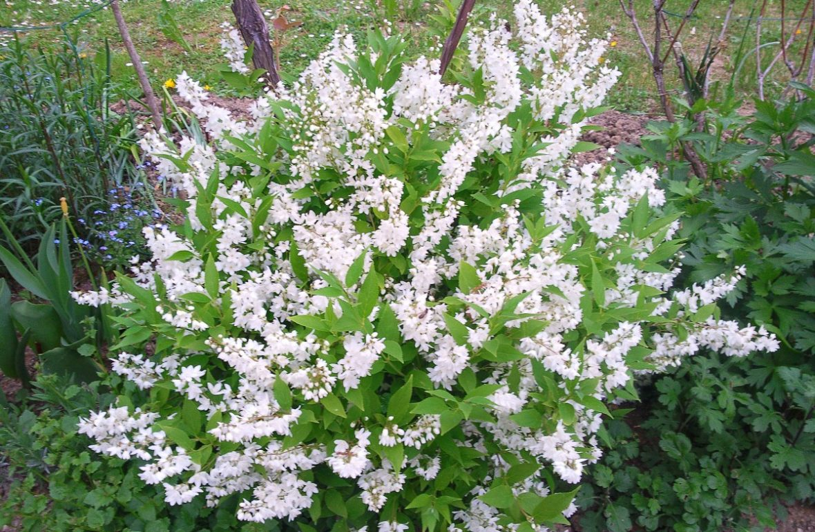Top 10 Shrubs That Like To Grow In Deep Shade Shrubs Shade